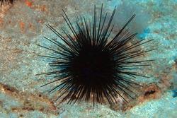 Black sea urchin (Arbacia lixula) on the sea floor