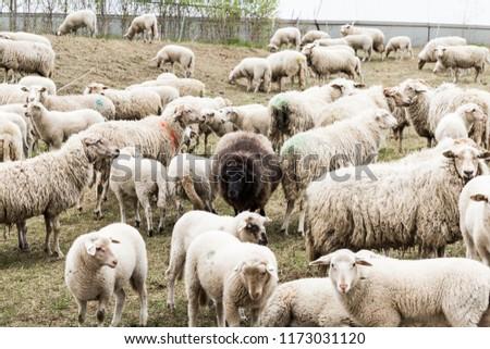 Black Sheep Center #1173031120