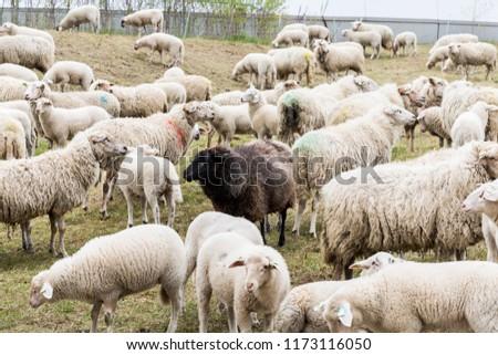 Black Sheep Center #1173116050