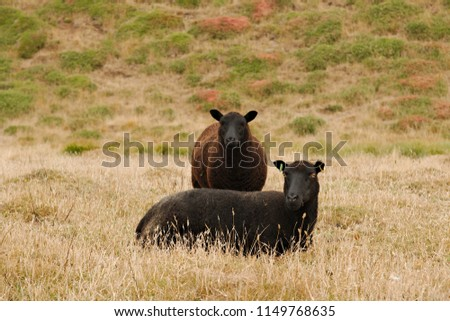 Black sheep mother and daughter (ewe and lamb) together for a family portrait.