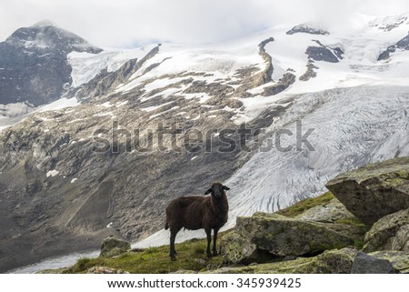 Black sheep on the background of rocky mountains and glacier. The Hohe Tauern, Austria #345939425