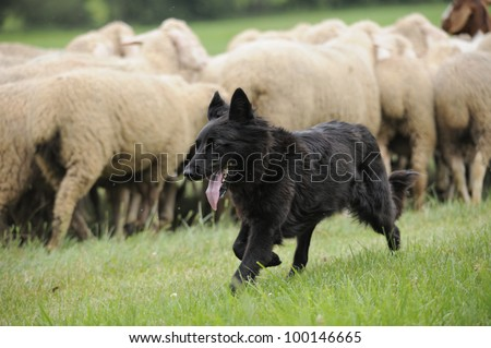 black sheepdog with a lot sheep in work