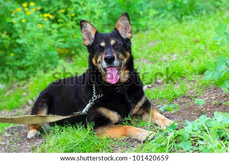 Black shepherd dog lying on the grass outdoors showing her long pink tongue
