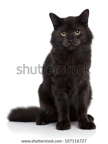 Black Siberian cat on a white background. Studio shoot