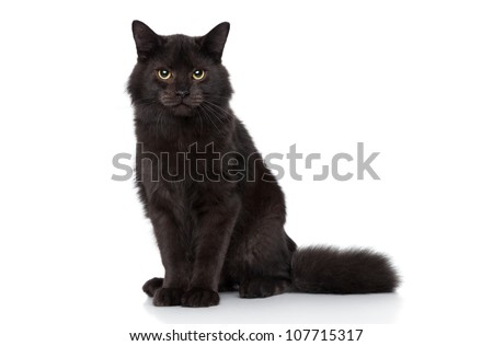 Black Siberian cat sits on a white background. Studio shoot
