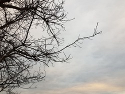 Black silhouette of a bare tree with a long thin branch in the gray sky at sunset (side view).