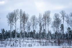 Black silhouettes of tall bare aspens against the gray sky. Panoramic landscape view of row of trees in snowy winter forest. Silhouettes of bare trees and evergreens against cold cloudy sky.