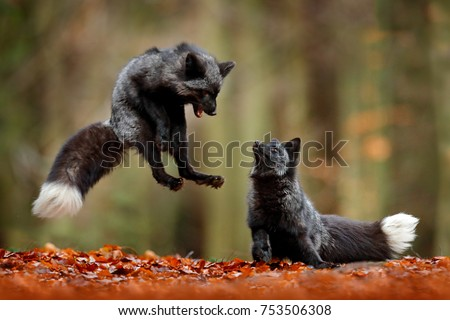 Black silver fox. Two red fox playing in autumn forest. Animal jump in fall wood. Wildlife scene from tropic wild nature. Pair of mammals fight.  #753506308