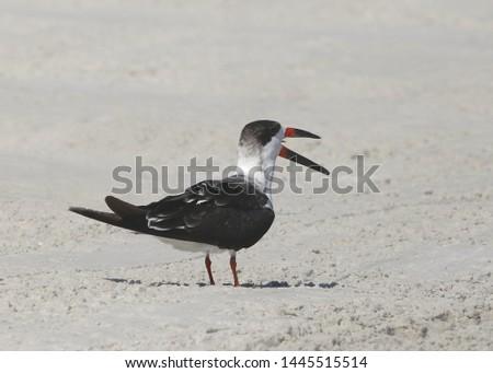Black Skimmer (beak open) (rynchops niger)