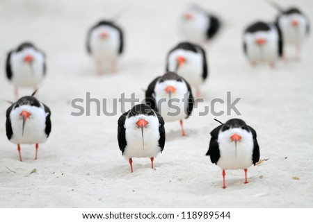 Black Skimmer?in North America - stock photo