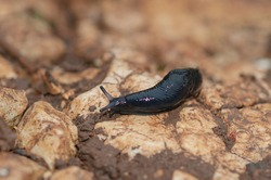 black slug, black arion, European black slug or large black slug (Arion ater) Malaga, Spain
