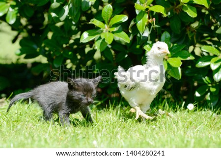 Black small kitten and white small chicken running on meadow #1404280241