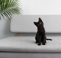 Black Small Kitten Sitting On Gray Sofa