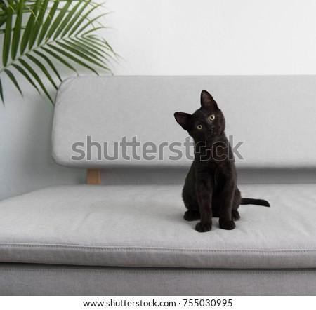 Black Small Kitten Sitting On Gray Sofa