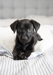 Black Small Puppy Relaxing on Human Bed