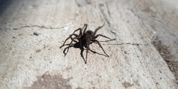 Black, small spider on the road.
