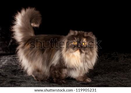 Black smoke tortie Persian cat on black background