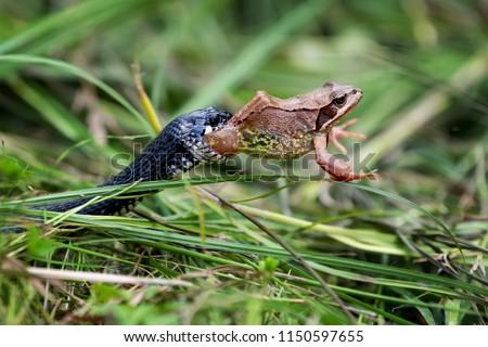 Stock Photo Black Snake eating big frog
