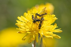 Black Soldier Fly Flies insect Hermetia Illucens mating on yellow dandelions
