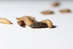Black soldier fly larvae isolated on white background (Phoenix worms)