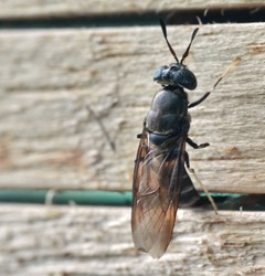 Black Soldier Fly laying eggs