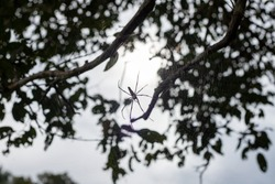 Black spider silhouette on net in tree branches. Low key natural photo. Black and white macro nature scene. Big poisonous spider on web. Dangerous insect in summer forest