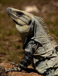 Black Spiny-tailed Iguana (Ctenosaura similis) upper body profile showing head, neck foreleg and claws.  It is seen here at the Mayan Uxmal ruins at Uxmal on the Yucatan Peninsula in Mexico