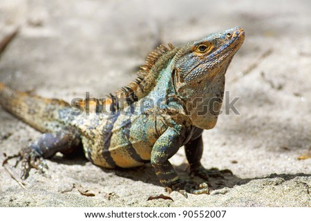 Black spiny-tailed Iguana on the beach in Manuel Antonio, Costa Rica