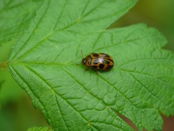 Black spotted orange colored leaf-beetle, tiny ladybug mimic insect, 7 mm long, resting on a leaf in forest