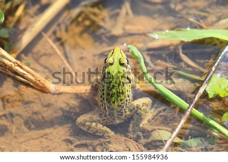 Black-spotted Pond Frog or Dark-spotted frog (Rana nigromaculata) in Japan