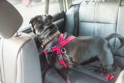 black staffordshire bull terrier dog on rear seat of car with leather seats, attached safely with a red harness and restraint strap clipped in seat belt buckle clip