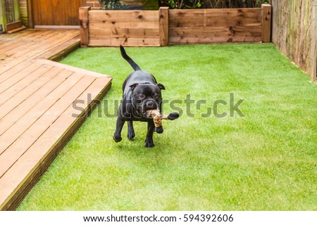 Black Staffordshire bull terrier dog running and playing on artificial grass by decking in a residential garden or yard. he has a soft toy tiger in his mouth.