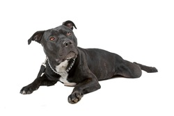 black Staffordshire Bull Terrier isolated on a white background