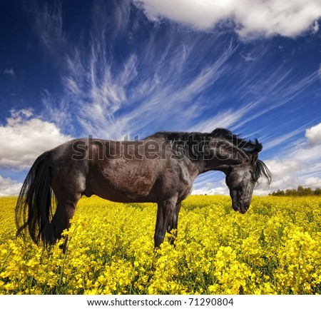 Black stallion grazing in a rapeseed field