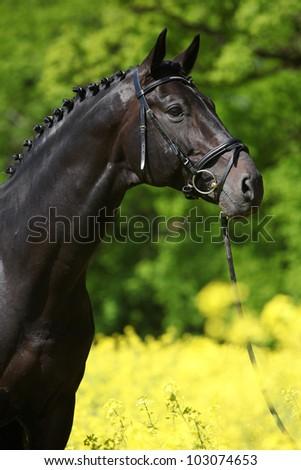 Black stallion in the colza field