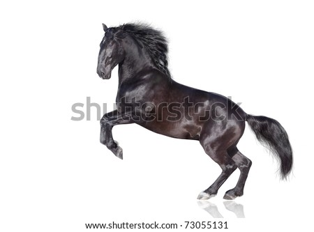 black stallion isolated on white