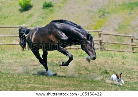 Black stallion running after jack russel terrier