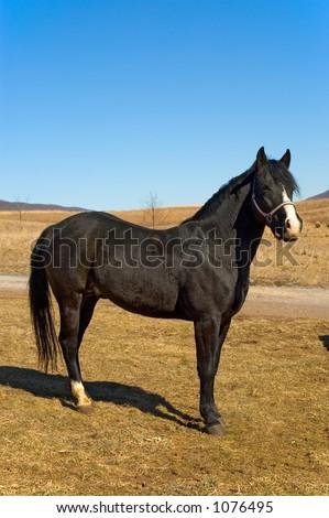 Black Stallion Tall