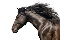 Black stallion with long mane in motion portrait isolated on white background
