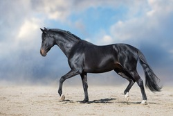 Black stallion with long mane run fast against dramatic sky in dust