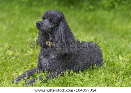 Black Standard Poodle lying down in grass