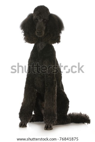 black standard poodle sitting on white background