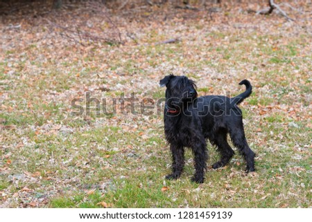 black standard schnauzer #1281459139