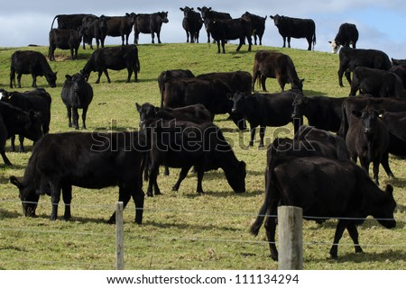 Black steers bulls on a field of a beef farm in New Zealand.