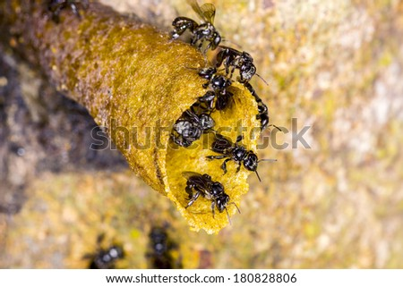 black Stingless bee on nest