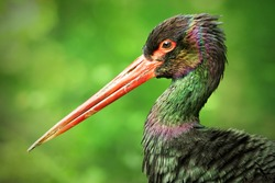 Black stork (Ciconia nigra), with a beautiful green coloured background. Colourful waterbird with black feather and red bill sitting near the river. Wildlife scene from nature, Czech Republic