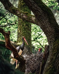 Black stork male and female in the nest on the tree in the forest. Family of wild birds in wild nature. Bird with black and white feathers and red beak. Big bird nest in the crown of leafy tree.