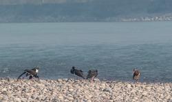 Black Storks bird sitting bear River beach of Ganges