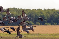Black storks fly over the yellow fields in the background forest Autumn migration of the stork.