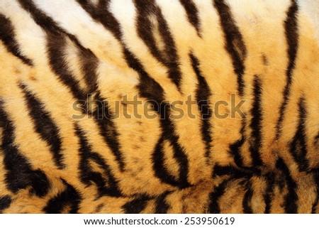 black stripes on real tiger fur, beautiful animal texture